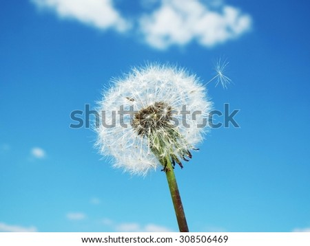 Dandelion on a blue sky.