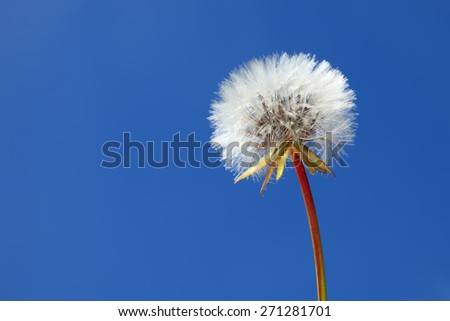 Dandelion on a clear blue sky background. Close up. - stock photo