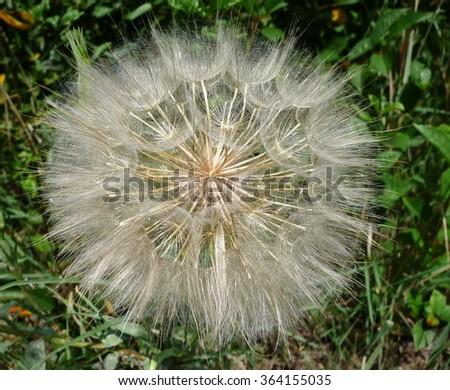 Dandelion on a green meadow closeup  - stock photo