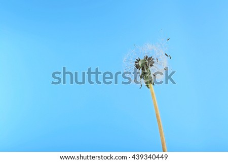 Dandelion on blue background, close up