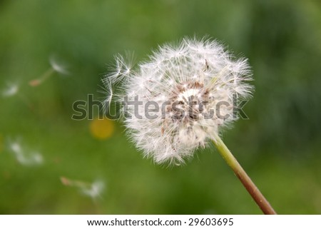 dandelion on green in the Wind - stock photo