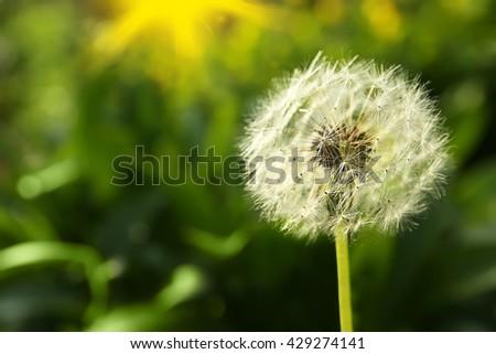 Dandelion on natural blurred background - stock photo