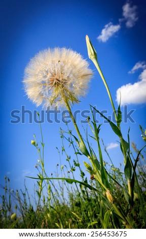 dandelion on summer meadow under nice sky - stock photo
