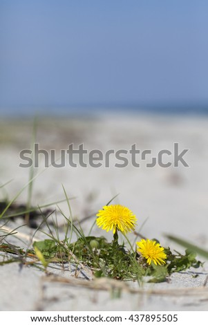 Dandelion on the beach