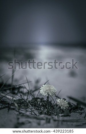 Dandelion on the beach - night