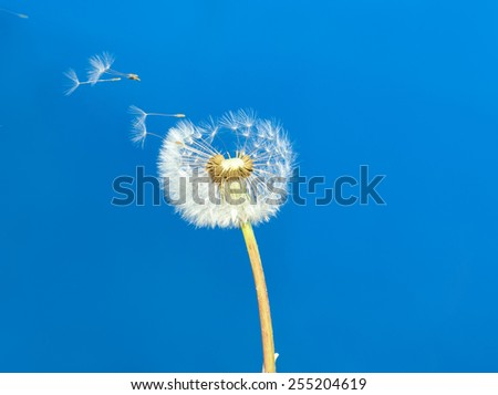 dandelion on the blue background - stock photo