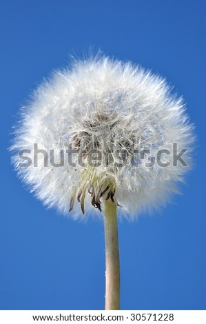 Dandelion on the blue sky - stock photo