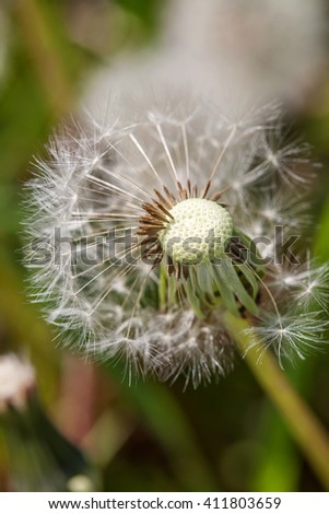 Dandelion on the meadow at greens background. Close up - stock photo