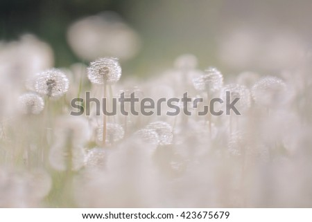 Dandelion on the meadow at sunlight background  - stock photo