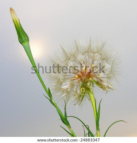 Dandelion on the Sunset - stock photo
