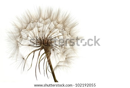 dandelion on white background