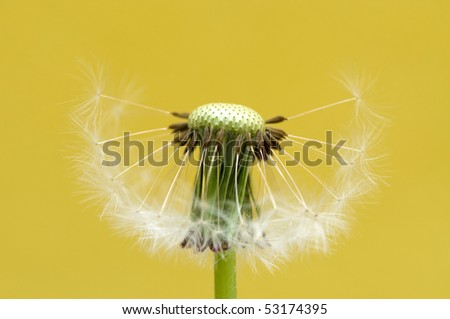 Dandelion on yellow background