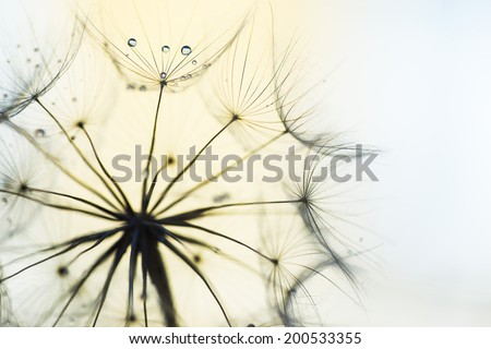 Dandelion or Western Salsify Seed Head with blurred background