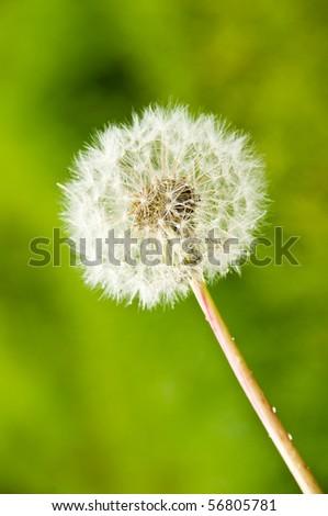 Dandelion over green outdoor background - stock photo