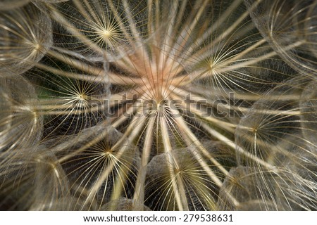 Dandelion plant dry flower head closeup abstract natural background. Selective focus. - stock photo