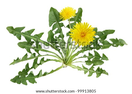 Dandelion plant with flower isolated on white background - stock photo