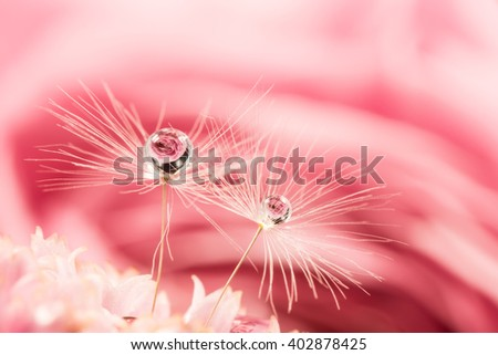 Dandelion puff, rose, drop, close-up, macro.