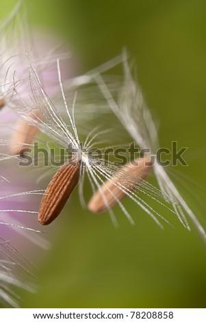 dandelion's umbel - stock photo