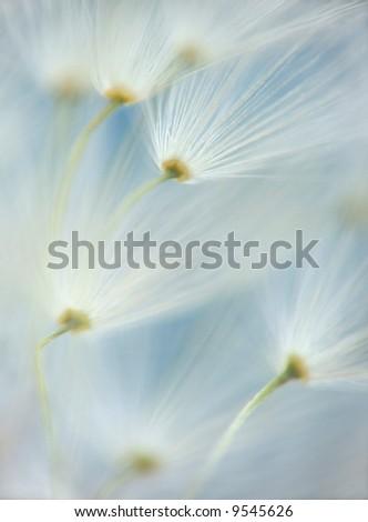 dandelion's umbels - stock photo