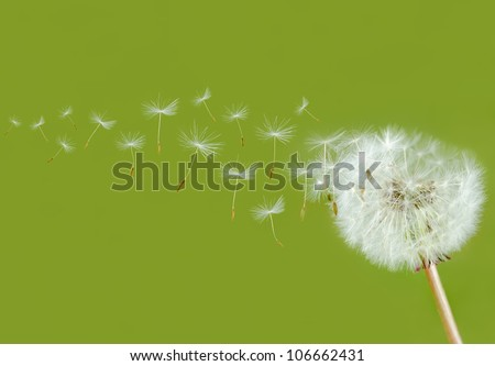 dandelion seed head bevor green background - stock photo