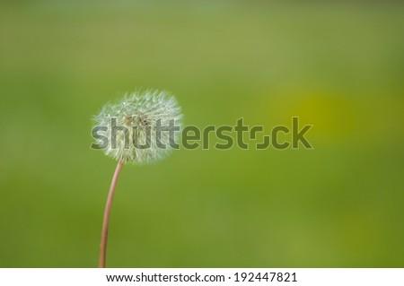 dandelion seed head bevor green background - stock photo