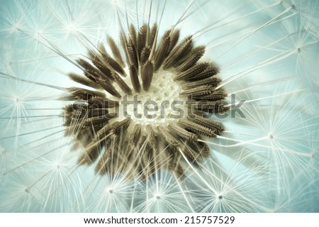 Dandelion seed head Close up of dandelion spores and seeds. - stock photo