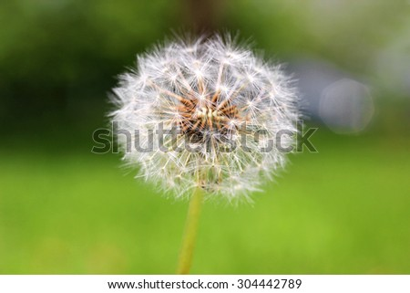 Dandelion seed head is bad news for allergy sufferers - stock photo