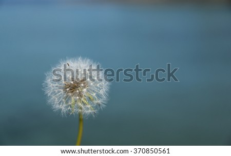 Dandelion seed head still intact with blue sea in the background