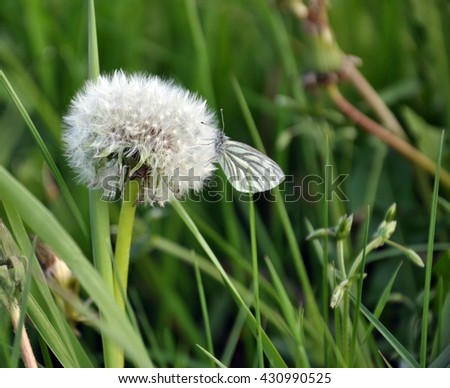 Dandelion seed head with butterfly Prioneris philonome
