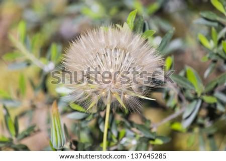 Dandelion seed outdoors - stock photo