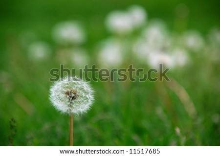 Dandelion seed packets standing out from the pack - stock photo