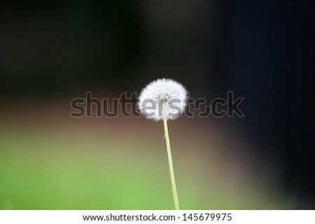 Dandelion Seed shot with a low depth of field outside in the grass The species of Taraxacum are tap-rooted biennial or perennial herbaceous plants, native to temperate areas of the Old and New worlds - stock photo