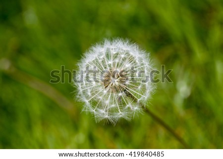 Dandelion seed single seed-head with green grass from right bold colors - stock photo