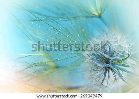 Dandelion seeds - stock photo