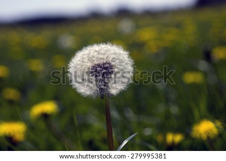 Dandelion seeds and blurred flowers in the background. - stock photo