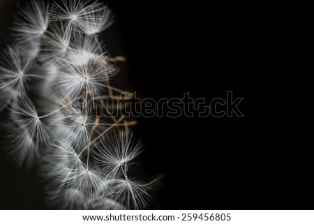 Dandelion seeds. Black background. Image with a place for text. - stock photo