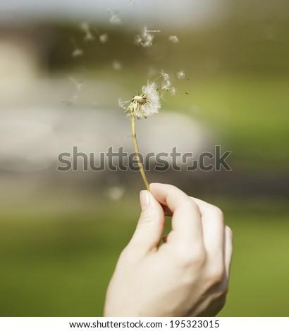 Dandelion seeds blowing in hand - stock photo
