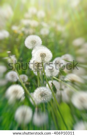 Dandelion seeds - dandelion in meadow - stock photo