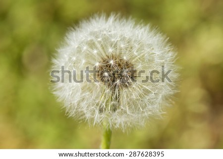 dandelion seeds detail - stock photo