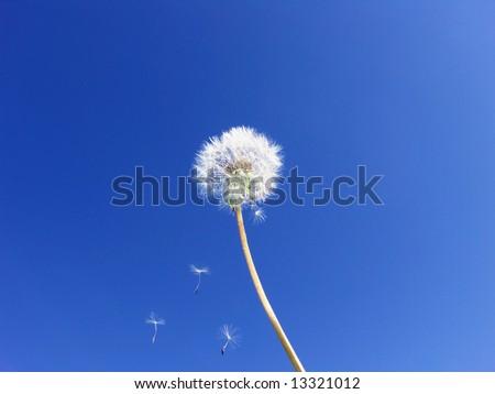 Dandelion seeds floating on blue sky … Wishes - stock photo