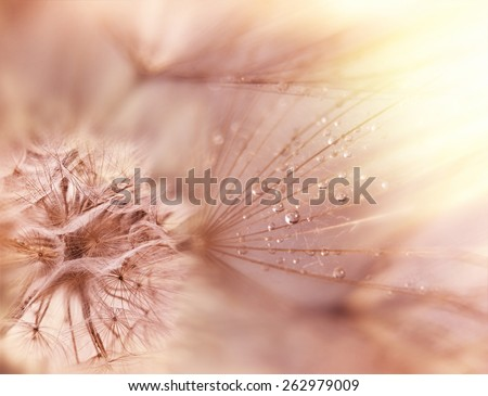 Dandelion seeds - fluffy blowball - stock photo