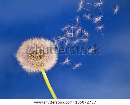Dandelion seeds fly over blue - movement