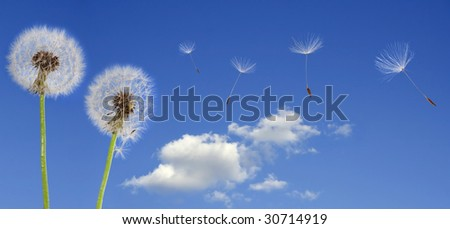 Dandelion seeds flying in the blue sky - stock photo