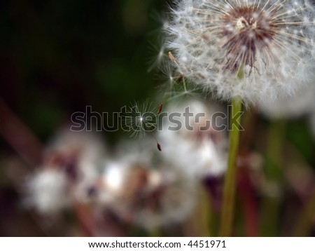 Dandelion seeds gone with th wind - stock photo