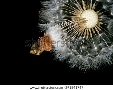Dandelion seeds hanging on - time to move on psychology metaphor. Personal development etc - stock photo