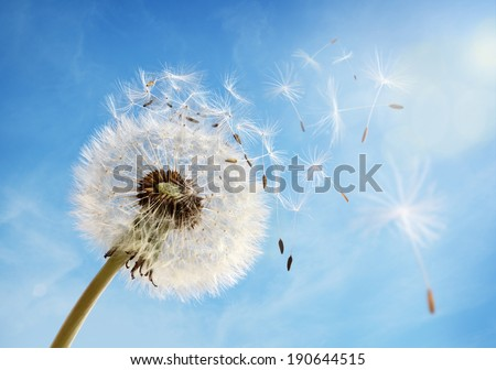 Dandelion seeds in the morning sunlight blowing away in the wind across a clear blue sky - stock photo