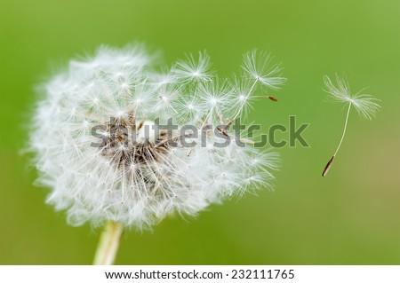 dandelion seeds on green background - stock photo