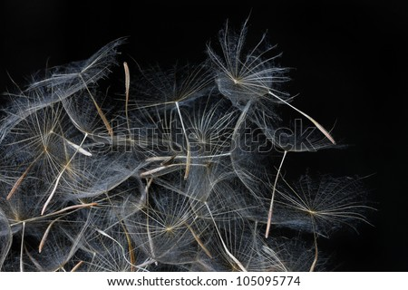 dandelion seeds over black background