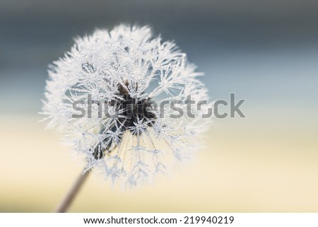 Dandelion seeds with raindrops - stock photo