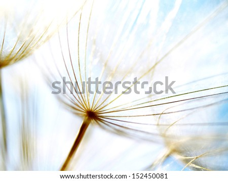 Dandelion seeds 39, with tiny depth of field - stock photo